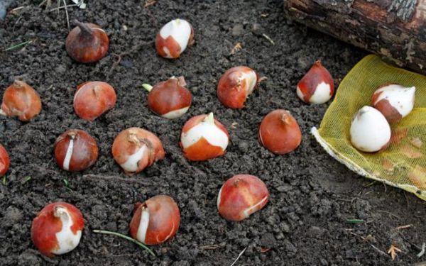 Rośliny cebulowe: jak sadzić cebulki kwiatowe jesienią